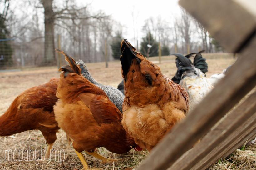 chickens-18